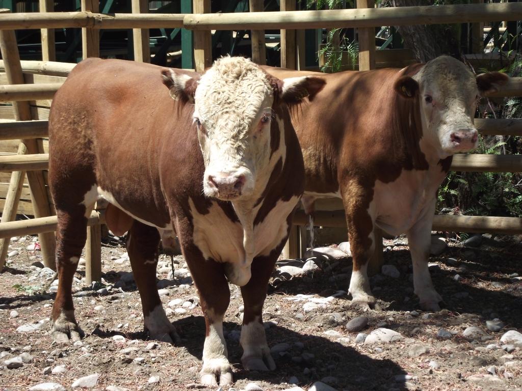 Andes on line | Con toros de raza Hereford mejoran ganado en Putaendo
